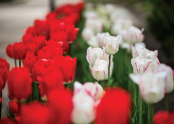 Red and white tulips on Central's campus.